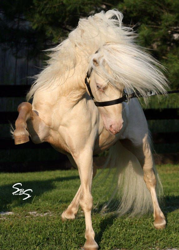 This horse and his name are epic!!   Miniature Horse stallion First Knights Billy Idol