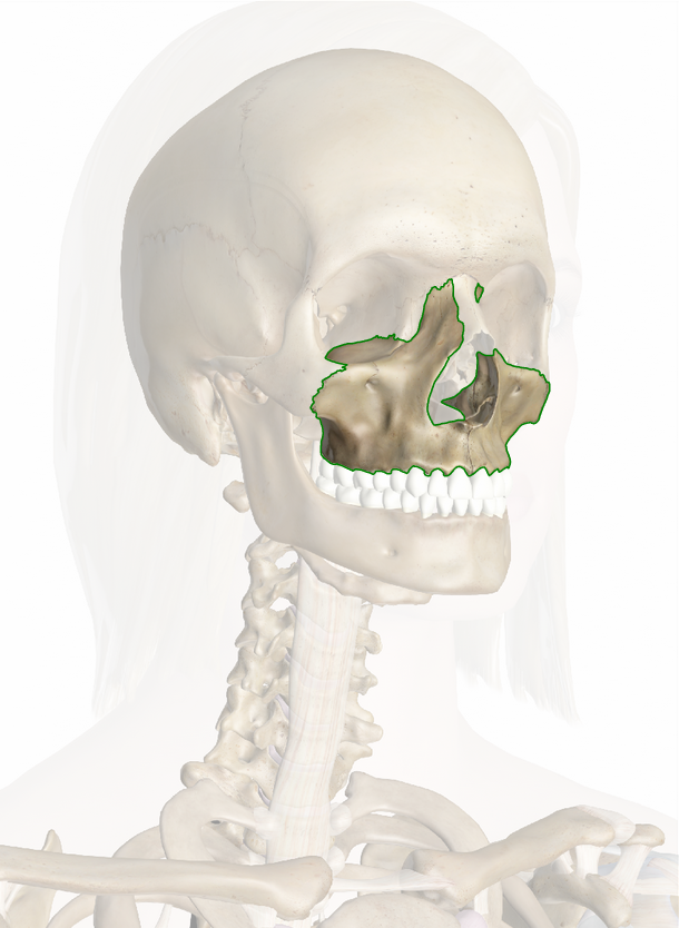 Maxilla Anatomy Pictures And Information Glandular Odontogenic