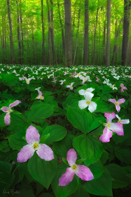Spring Trillium Bloom In Ithaca Ny Oc1000x1500 Landscape Nature
