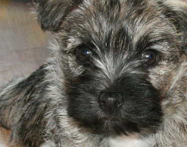 Cairn Terrier Breed Facts And Links And Pictures Oh My Dogs