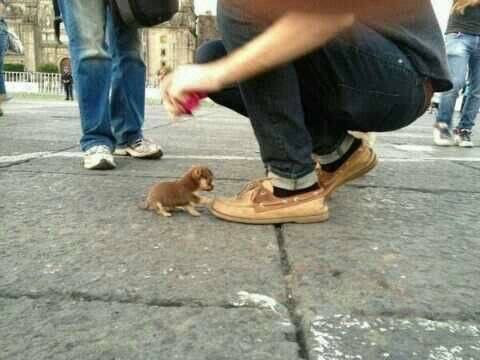 World's smallest dog