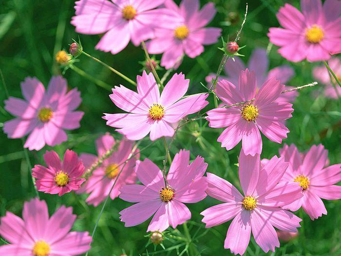 Dr Dan S Garden Tips Hot Hot Hot Cosmos Flowers Cosmos Flower Pictures Summer Flowers