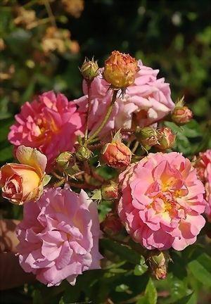 Hybrid Multiflora Rambling Rose: Rosa 'Ghislaine Feuerwerk' (discovered in Germany, 2003)