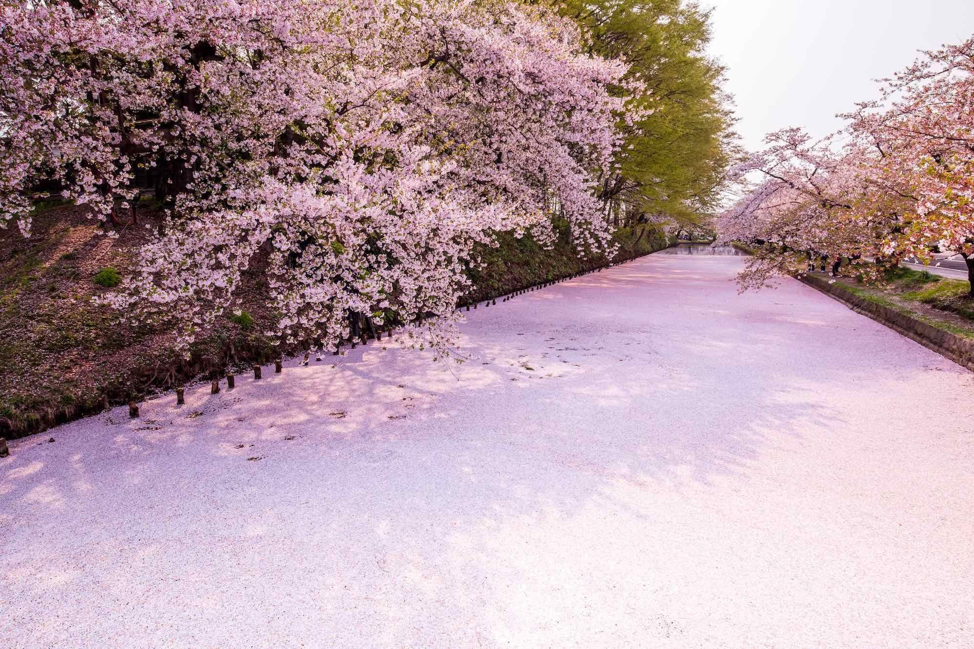 Five Ways To View Cherry Blossoms At Northern Japan S Favorite Sakura Viewing Park Hirosaki Cherry Blossom Beautiful Photography
