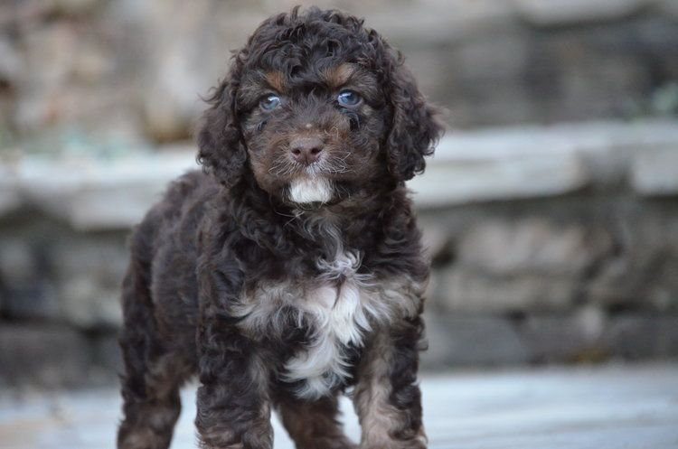 Beautifully Marked Tricolor Phantom Cockapoo Cockapoo Poodles