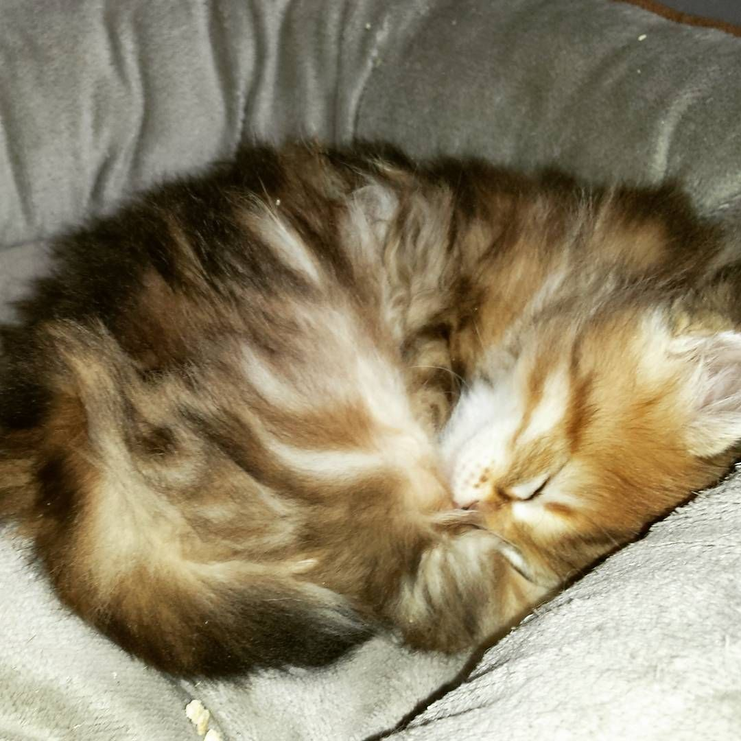 Kaos And Then Sleep Kittens Are Just So Cute Artekatz Siberiancat Cuteness Cat Kitten Catoftheworld Siberian Cat Kittens Cutest Cat Day Siberian Cat