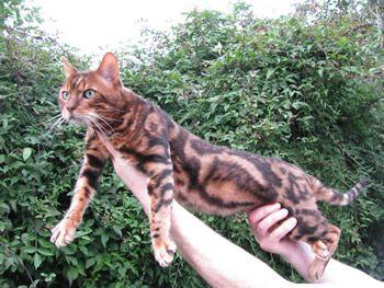Bengal Cat Profile Care Cat Breeds Bengal Cat Kittens