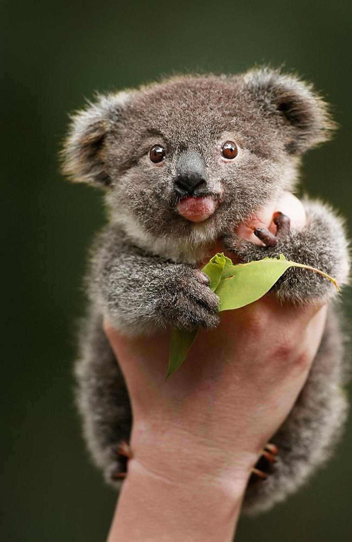 Baby Koala. Baby animals funny, Cute animals, Cute baby
