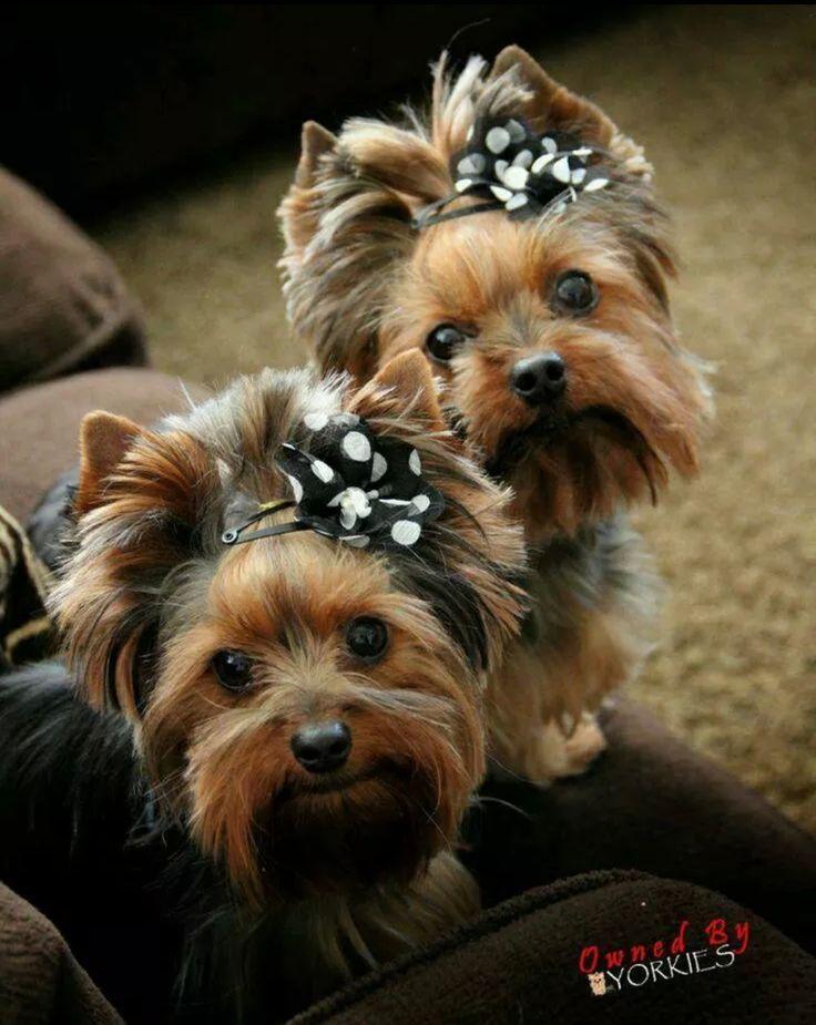 Simple Ribbon Bow Adorable Dog - 67c8ed10ed02e5b0c2f81e411a7b85a2  Picture_855720  .jpg