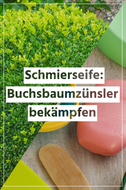 Schmierseife Gegen Buchsbaumzunsler Alles Zu Herstellung Anwendung Etc Buchsbaumzunsler Schmierseife Buchsbaum Garten