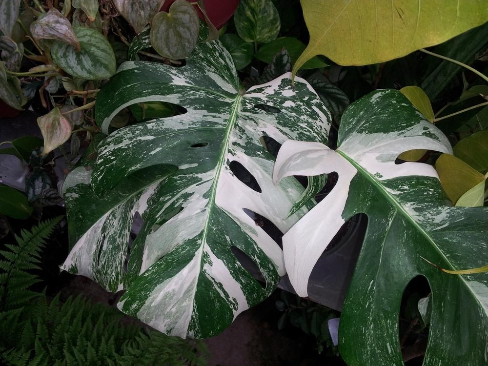 Photo of the leaves of White Variegated Monstera (Monstera ...