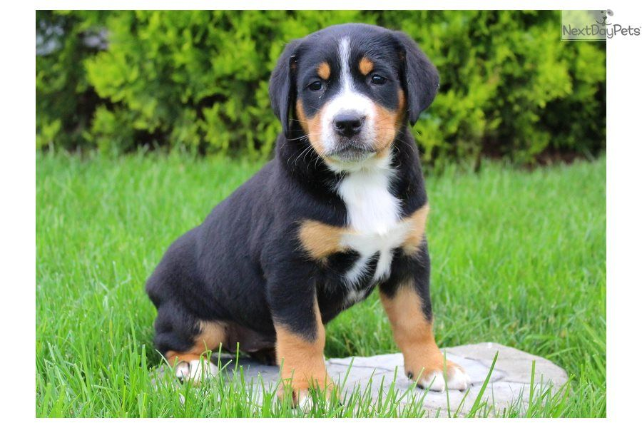Female Greater Swiss Mountain Dog Puppy For Sale Near