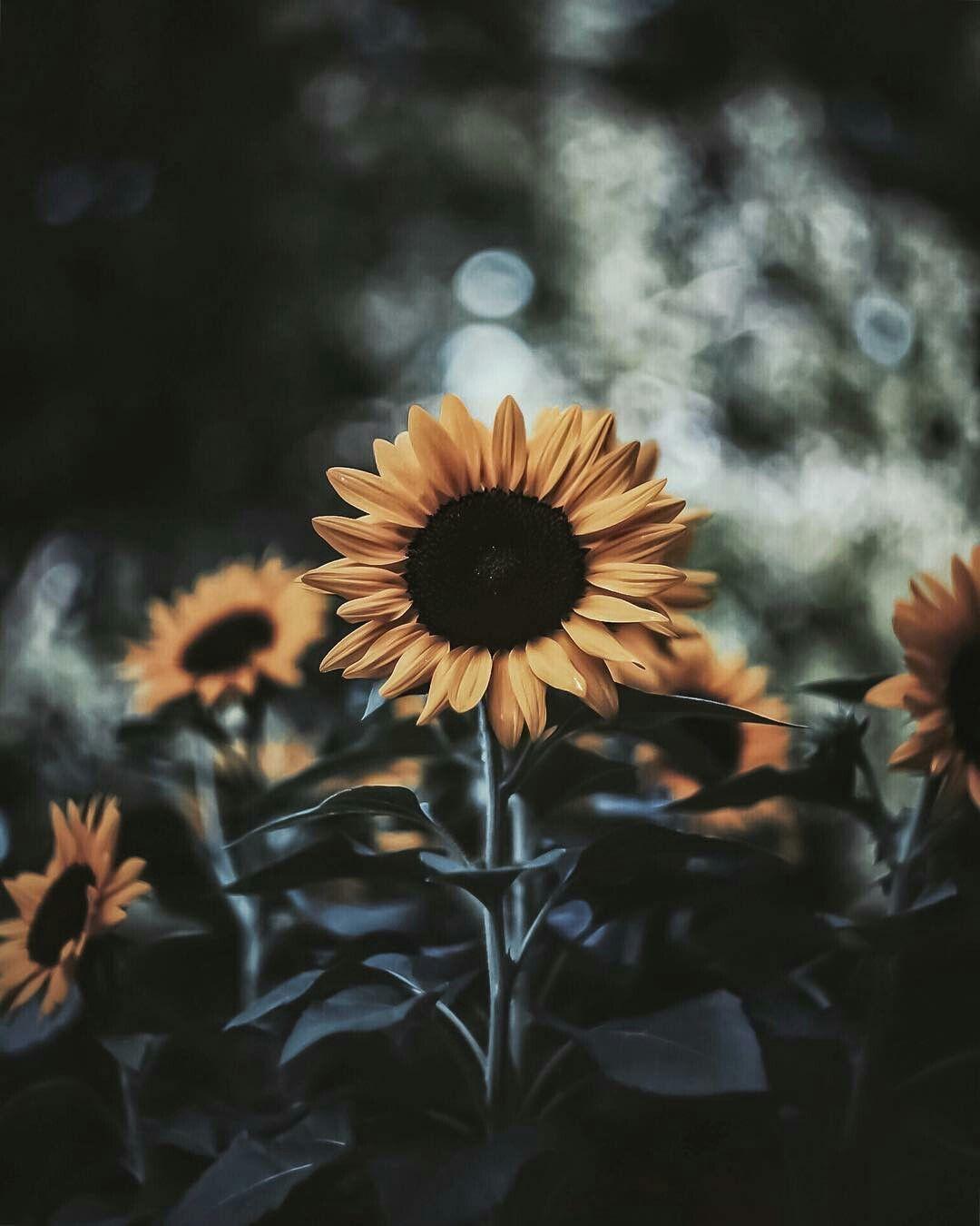 pinterest // macywillcutt ☆ Sunflower pictures