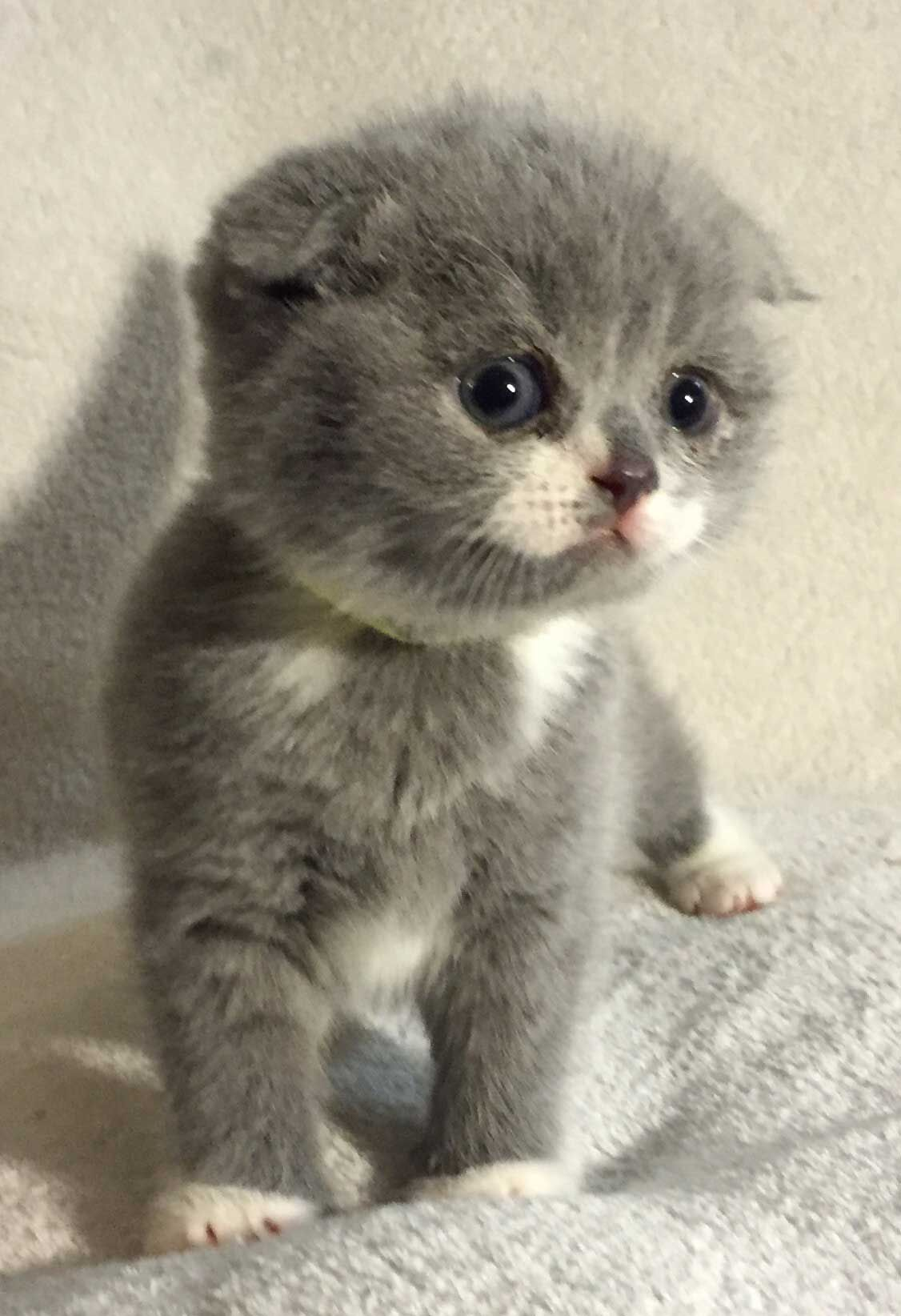 Scottish Fold Kittens for Sale munchkinkittens Munchkin