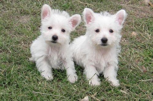 Westies White Terrier Dogs Westies