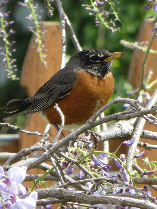 Robin On Branch.  Photo by Frederick Meekins
