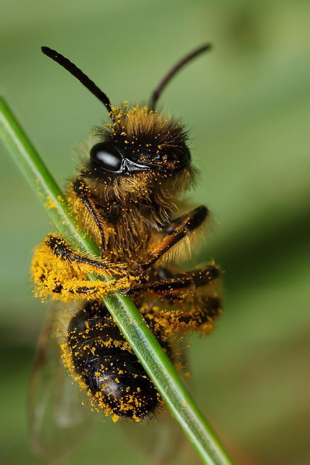 Abeille #insects