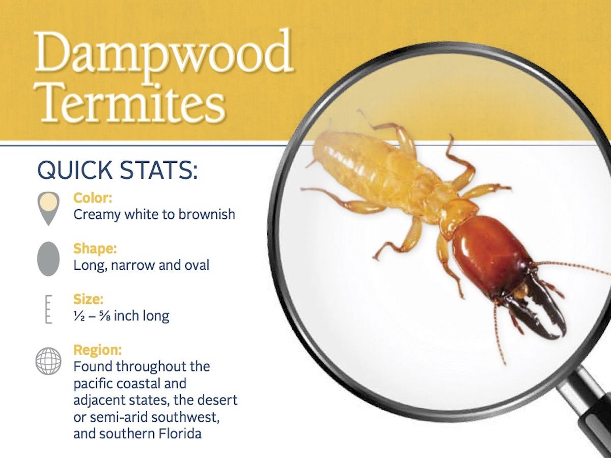 Dampwood termites can damage your home. Call us to help