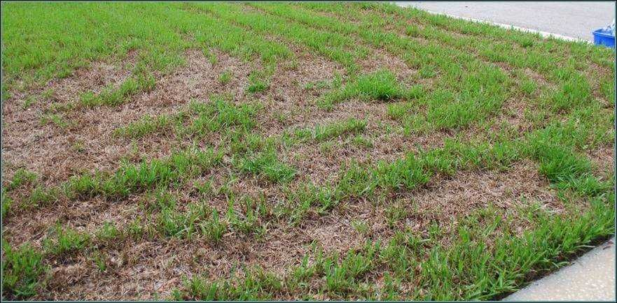 Safe Solutions Bt for Sod Webworm Lawn repair