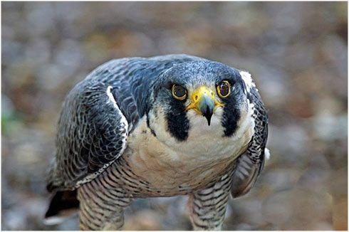 El Animal Mas Veloz Del Mundo La Reserva Halcon Peregrino Aves De Compañía Aves Rapaces