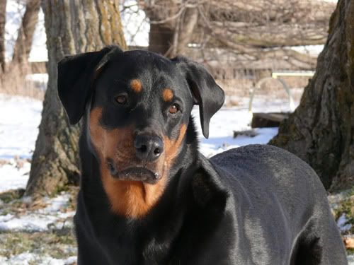 Rottweiler Doberman Mix A Is For Animals Pinterest Perros