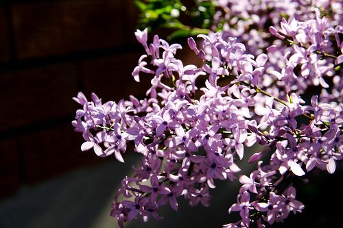How To Care For A Lilac Tree Lilac Tree Lilac Plant Garden Guide