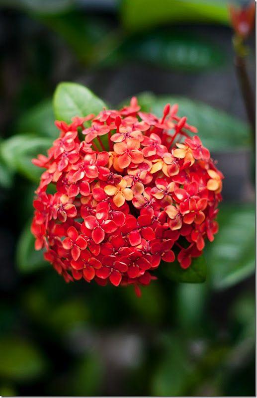 Saba, Flowers, Flora