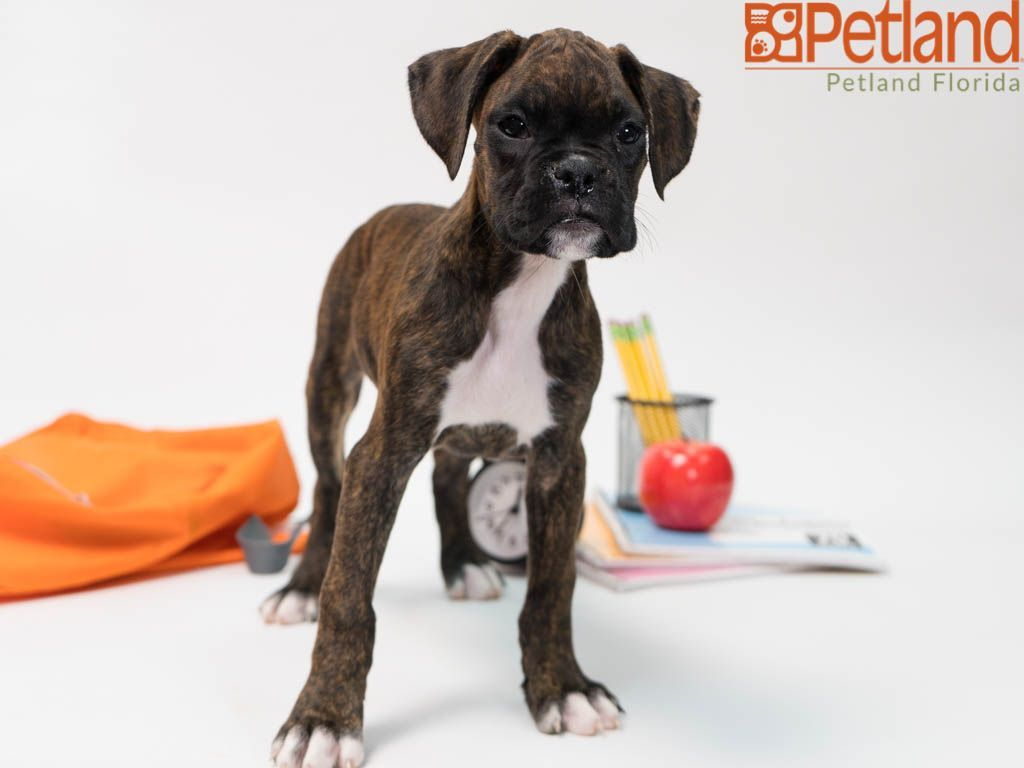 Puppies For Sale Boxer Puppies Boxer Puppies For Sale Puppy