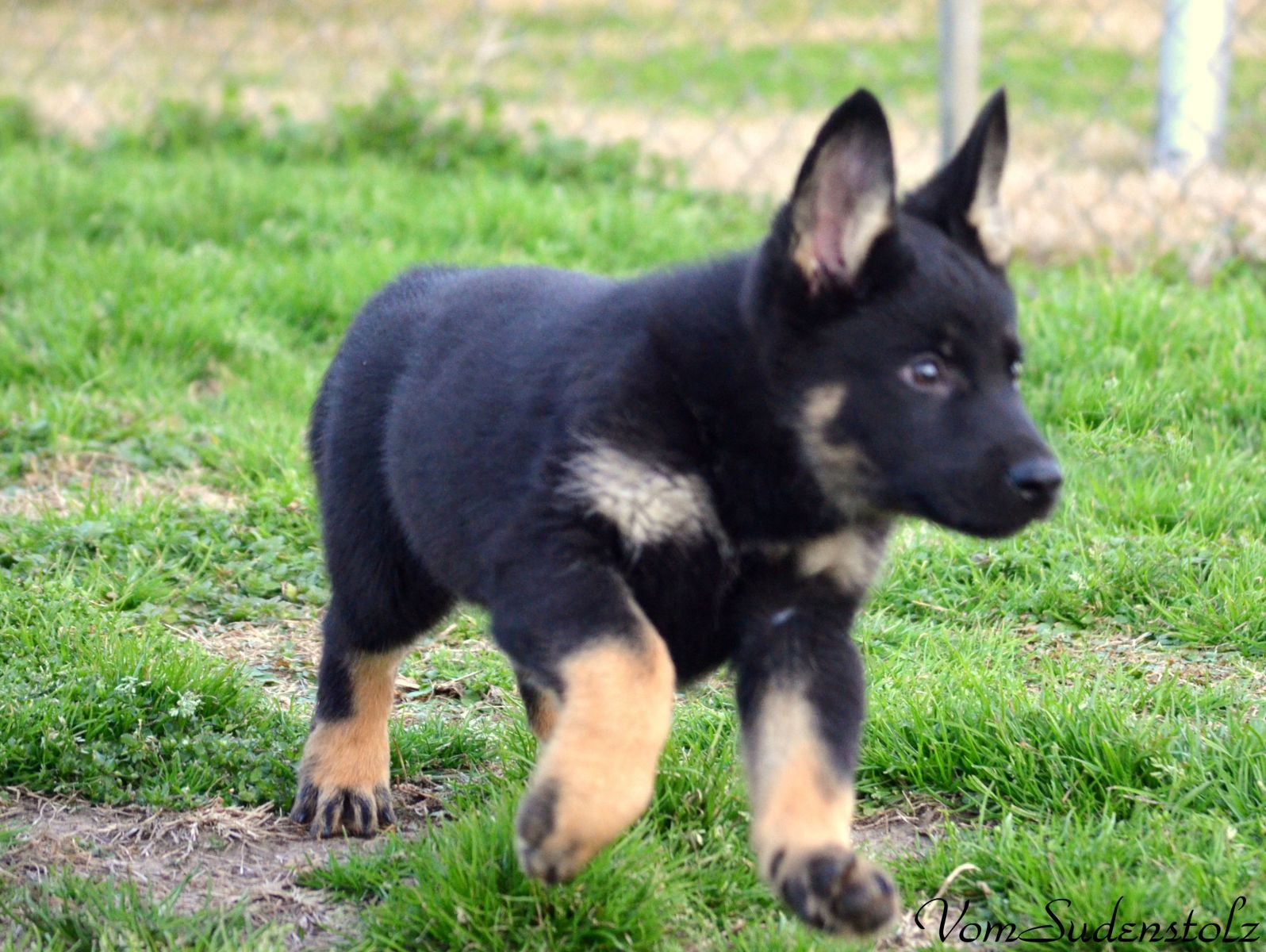 German Shepherd Strong And Loyal With Images Gsd Dog