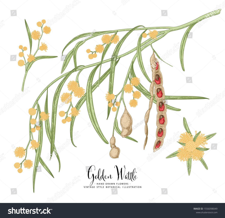 Vintage Botanical Illustration Golden Wattle Acacia Pycnantha Flower And Seed Pods Drawings Australia S National Flower Vintage Botanical Line Art Botanical