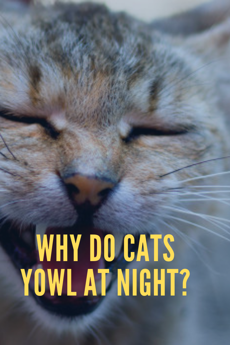What Do Different Cat Sounds Mean Cat Yowling Cat Meowing At Night Kitten Meowing