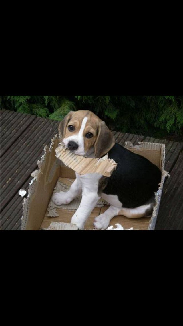 Thought I D Make It Even All Around Dogs Pets Beagles