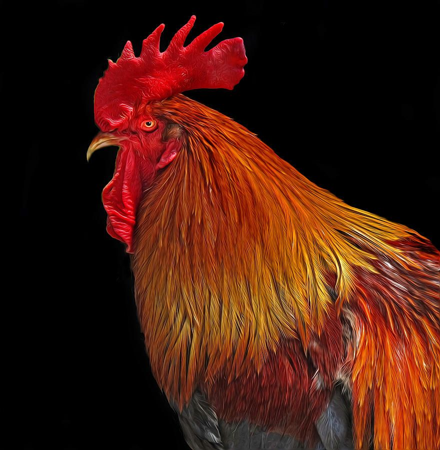 ✯ Rooster - Great Pic!