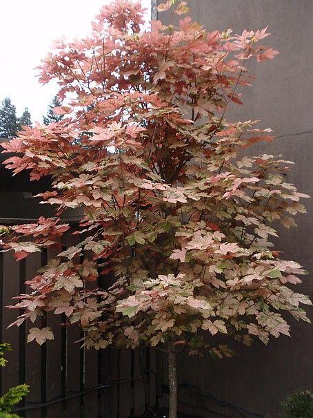 Acer Pseudoplatanus Esk Sunset Havliscz Grow It Sycamore