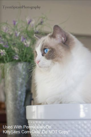 Arcattarags Cattery Ragdoll Cat Cat Pose Cats And Kittens