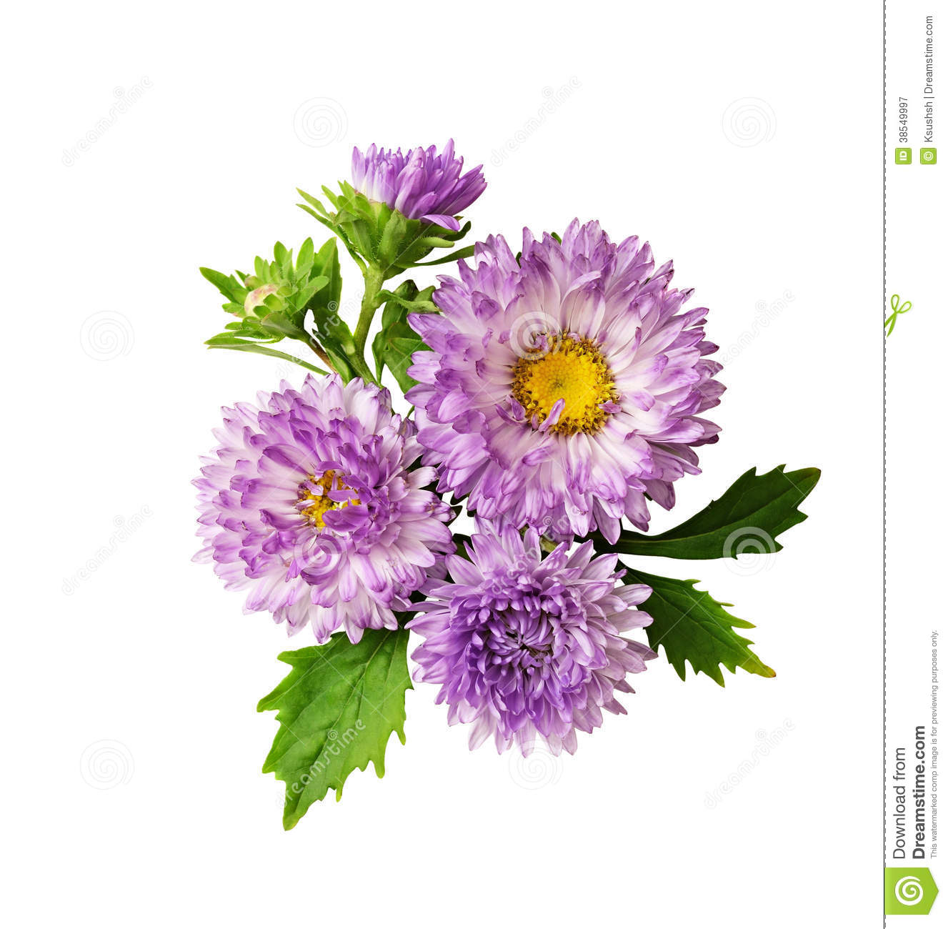 Favorite Aster Flower Flowers And Leaves Plants