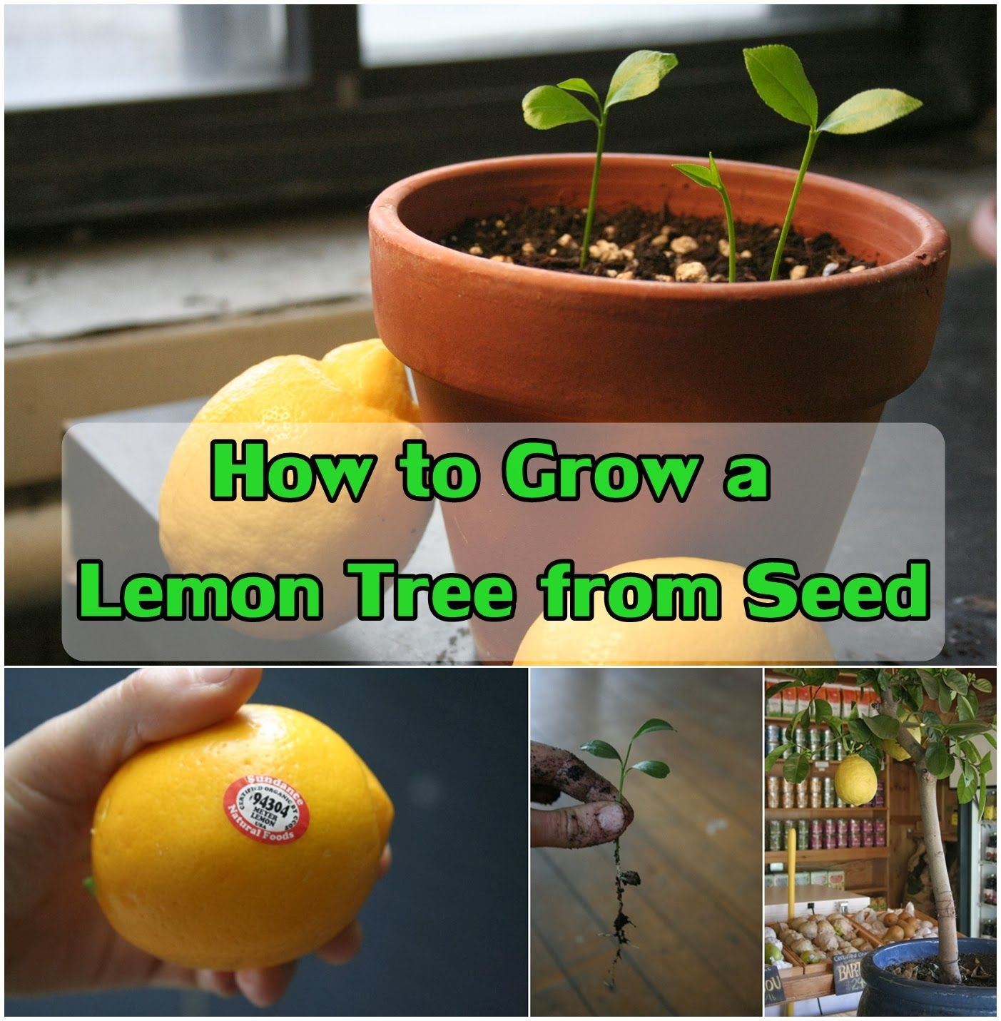 how to grow a lemon tree from seed faire pousser des plantes pinterest. Black Bedroom Furniture Sets. Home Design Ideas