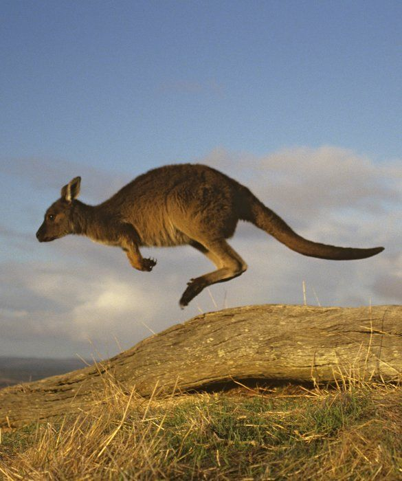Top Jumpers of the Animal Kingdom Animals, Kangaroo