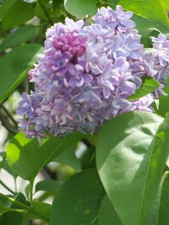 On This 15 Degree Winter Day A Short History Of Lilacs Lilac Paradise Lord