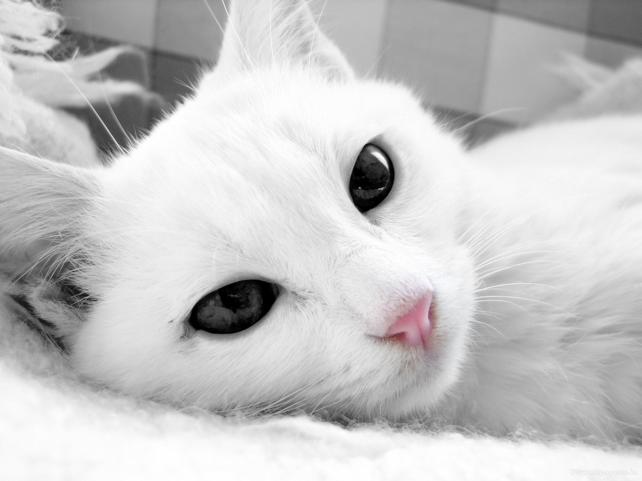 White cat with dark eyes close up wallpapers and images
