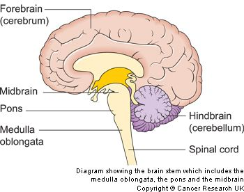 corticobulbar and corticospinal pathways - Google Search ...