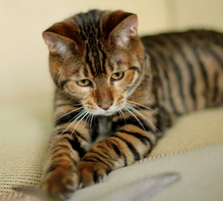 Pin On Toygers Bengals Mine And Others