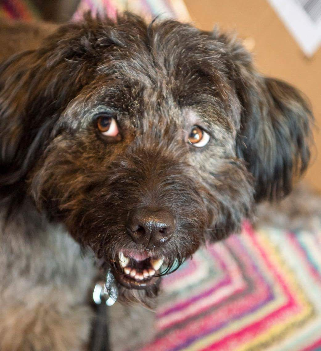 Meet the handsome 4yr old Teddy, a hungarian Pumi cross male. He's a fantastic lad who loves people, gets on well with other dogs and is very active. ...