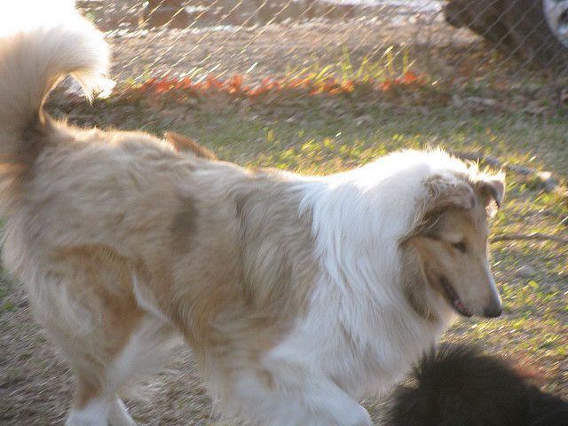 Sable Merle Rough Collies Are So Beautiful Best Dog Breeds