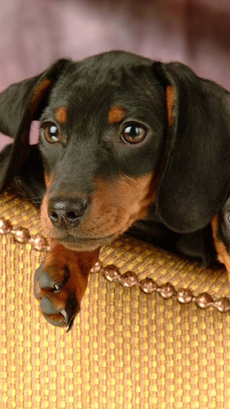 Dachshund Wallpaper For Iphone Bing Images Dachshund Iphone