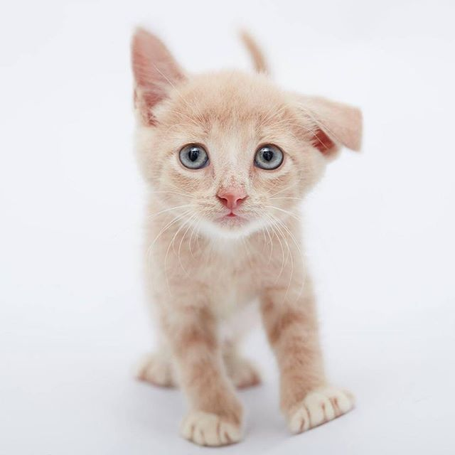 Meet Burma. He is a little kitten in foster care with Sydney Dogs and Cats Home in Sydney.  He is ...