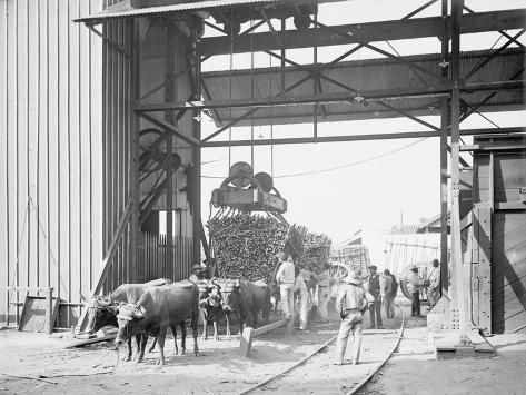 size: 24x18in Photo: Unloading Cane at a Modern Mill : Entertainment