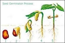 Seed Germination Process Seed Germination Germination Image