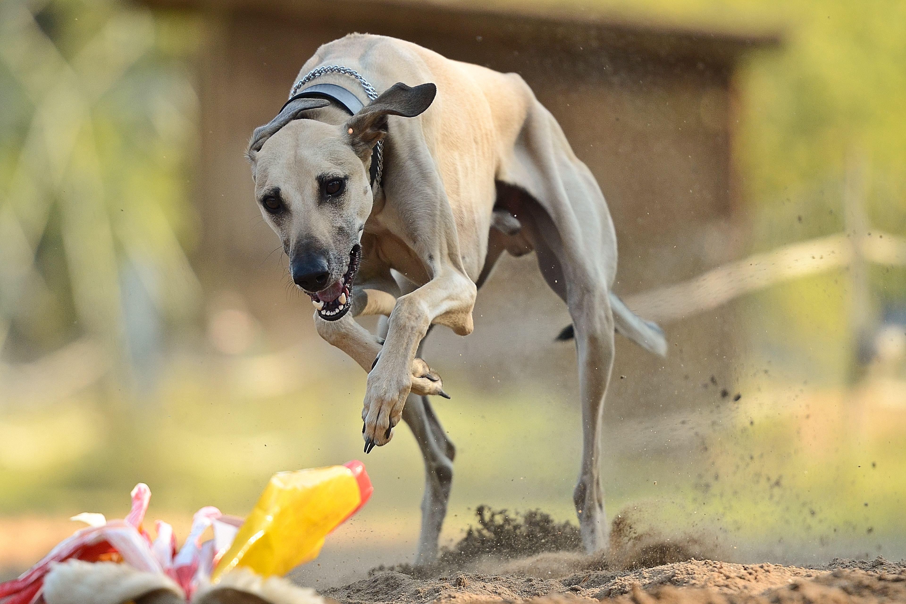 Sloughi Arabian Greyhound Dog Breeds Dog Photos Dog Pictures