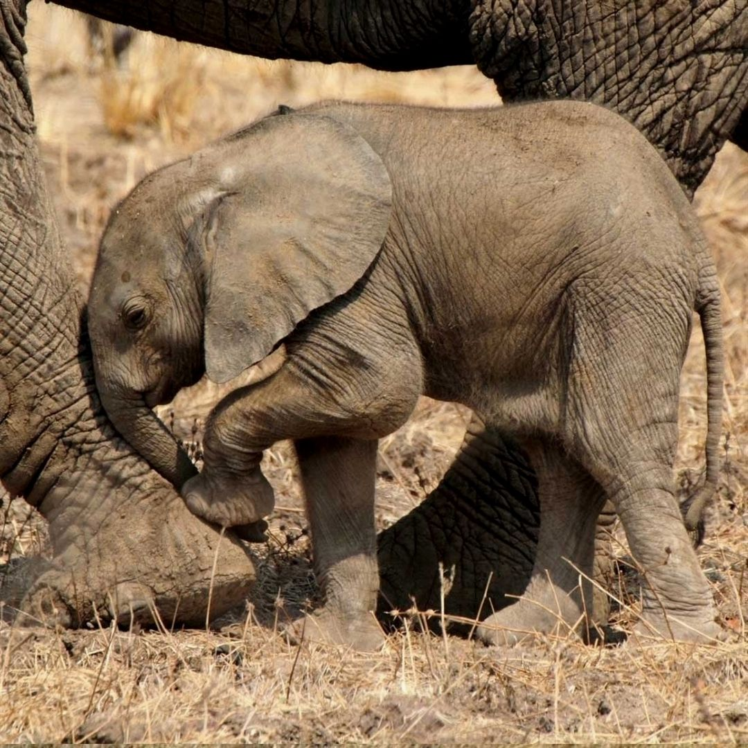Pin By Simi Weatherwax On Elephants Elephant Elephant Love Elephant Lover